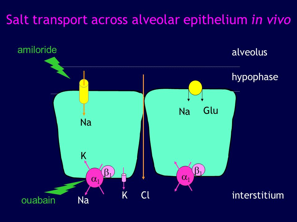Salt transport across alveolar epithelium in vivo