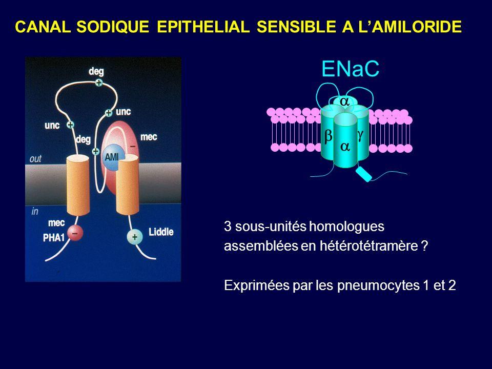 ENaC CANAL SODIQUE EPITHELIAL SENSIBLE A L'AMILORIDE a g b a