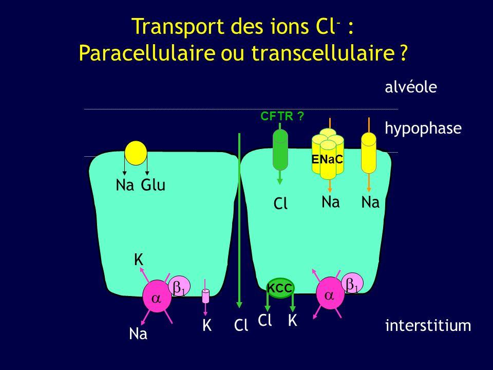 Transport des ions Cl- : Paracellulaire ou transcellulaire