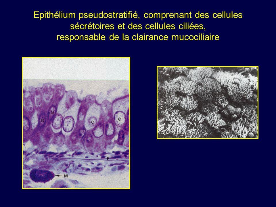 Epithélium pseudostratifié, comprenant des cellules sécrétoires et des cellules ciliées, responsable de la clairance mucociliaire