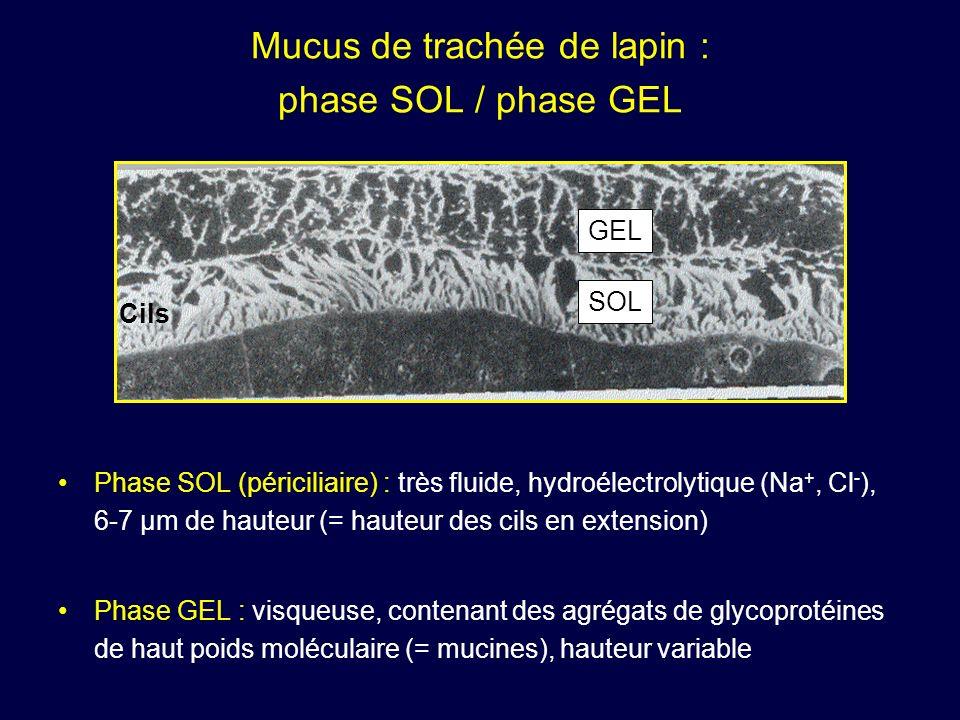 Mucus de trachée de lapin : phase SOL / phase GEL