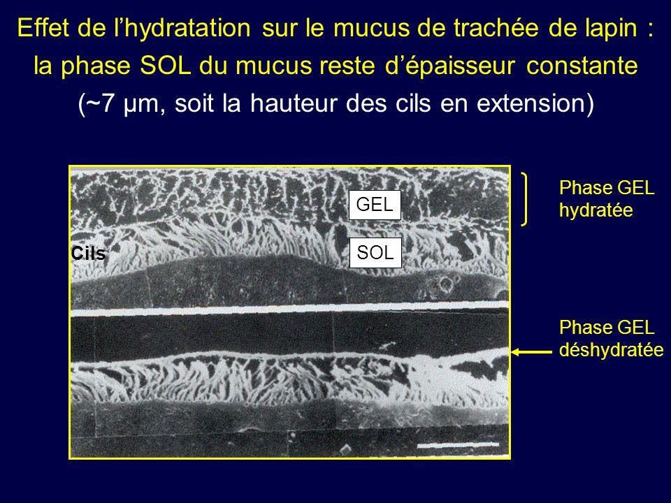 Effet de l'hydratation sur le mucus de trachée de lapin : la phase SOL du mucus reste d'épaisseur constante (~7 µm, soit la hauteur des cils en extension)