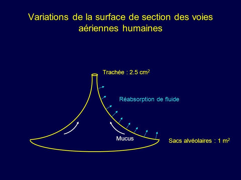 Variations de la surface de section des voies aériennes humaines