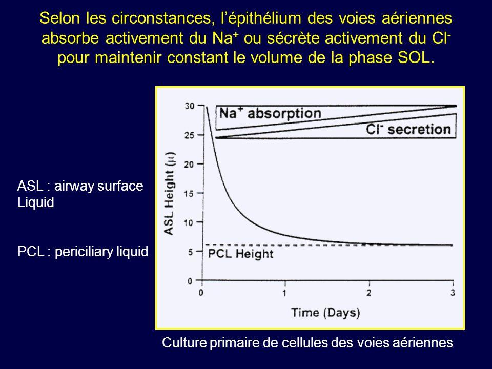 Selon les circonstances, l'épithélium des voies aériennes absorbe activement du Na+ ou sécrète activement du Cl- pour maintenir constant le volume de la phase SOL.