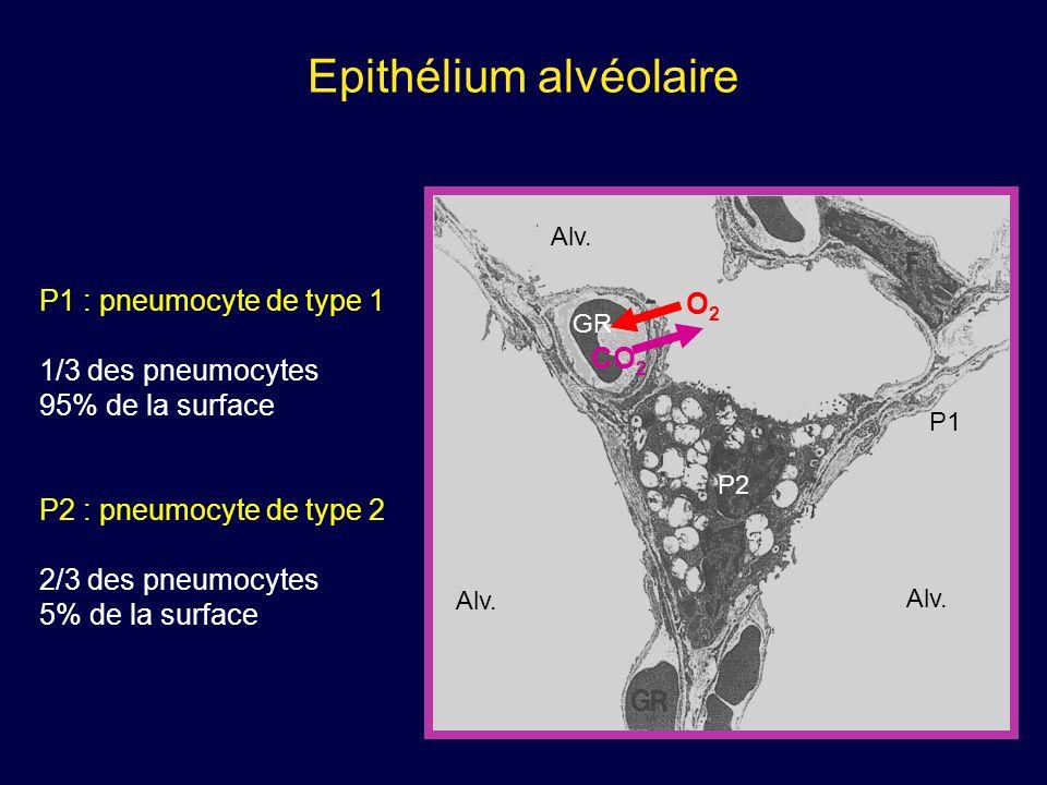 Epithélium alvéolaire