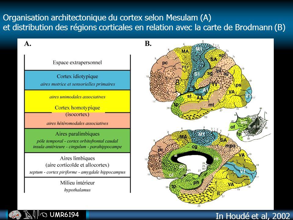 Organisation architectonique du cortex selon Mesulam (A)