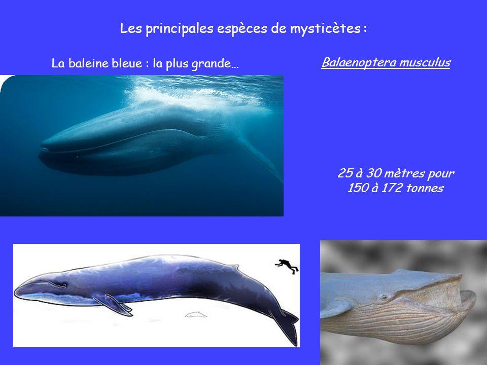Les principales espèces de mysticètes :
