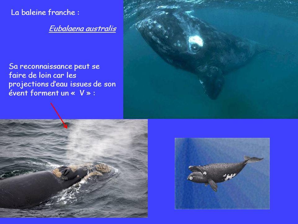 La baleine franche : Eubalaena australis.
