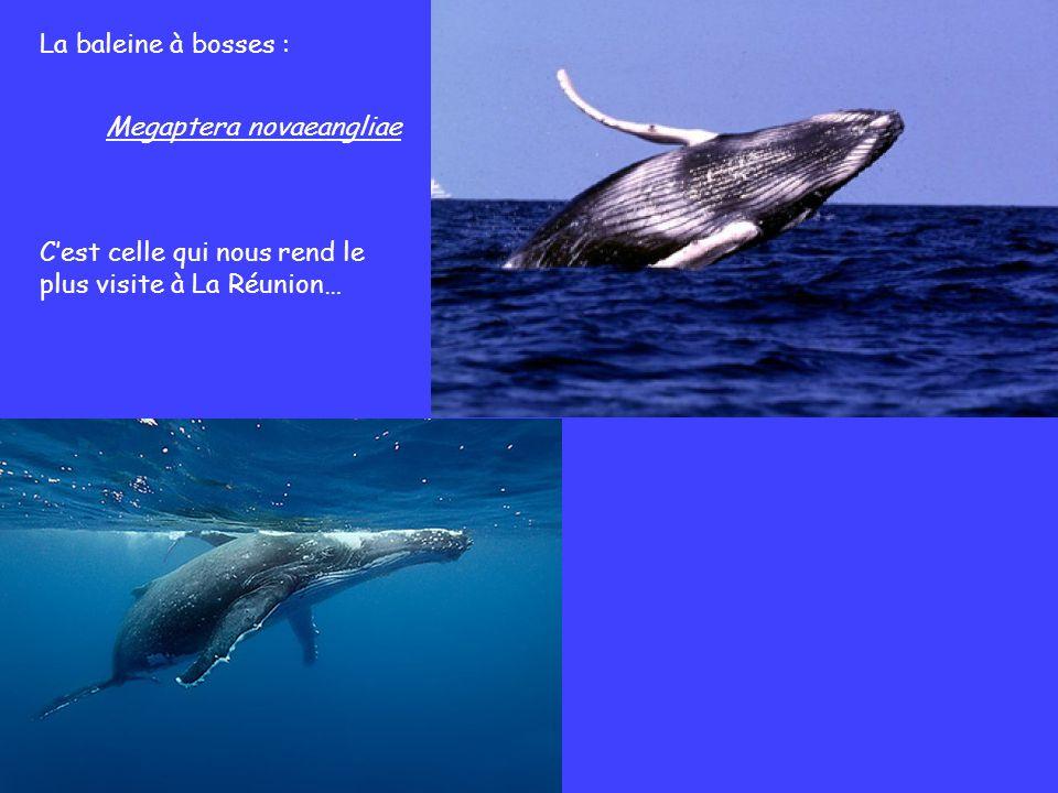 La baleine à bosses : Megaptera novaeangliae C'est celle qui nous rend le plus visite à La Réunion…