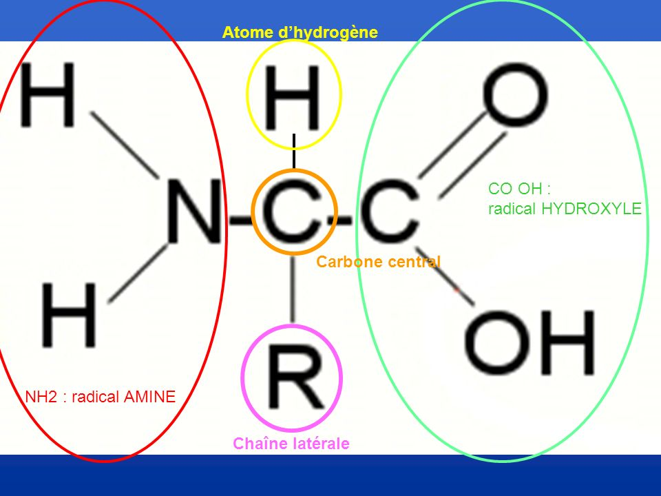 Atome d'hydrogène CO OH : radical HYDROXYLE Carbone central NH2 : radical AMINE Chaîne latérale