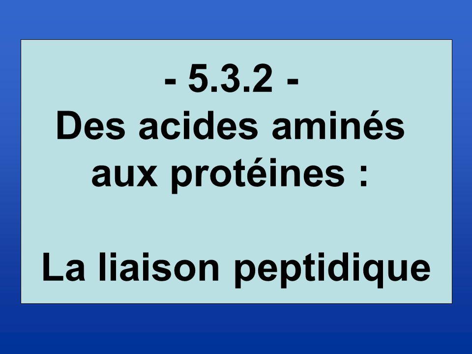 - 5.3.2 - Des acides aminés aux protéines : La liaison peptidique