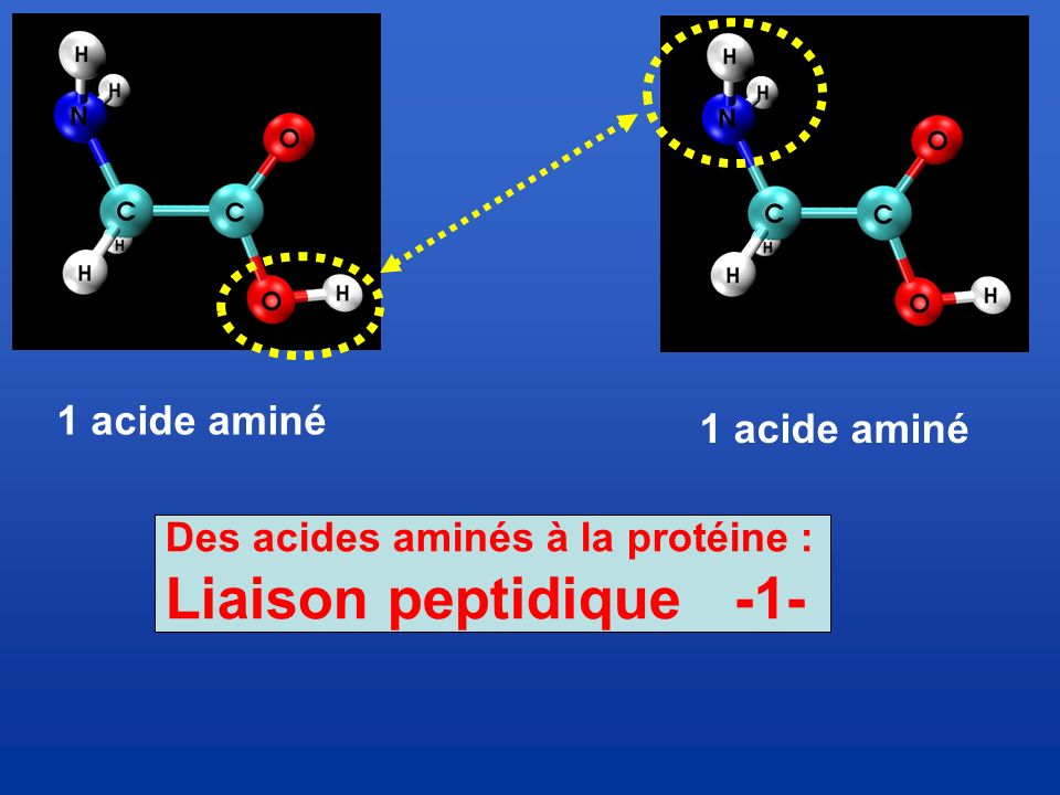 Liaison peptidique -1- 1 acide aminé 1 acide aminé