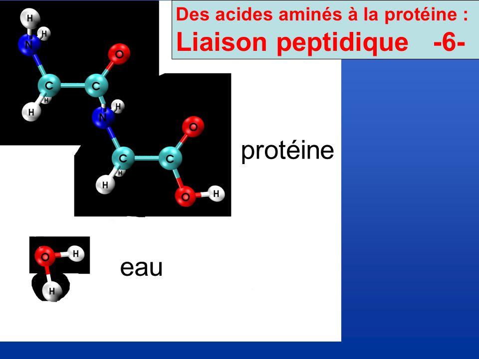 Des acides aminés à la protéine :