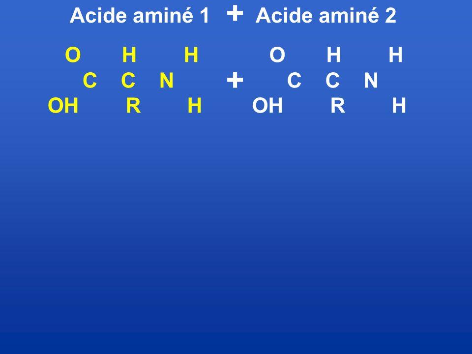 + Acide aminé 1. Acide aminé 2. O H H. C C N. OH R H. O H H.