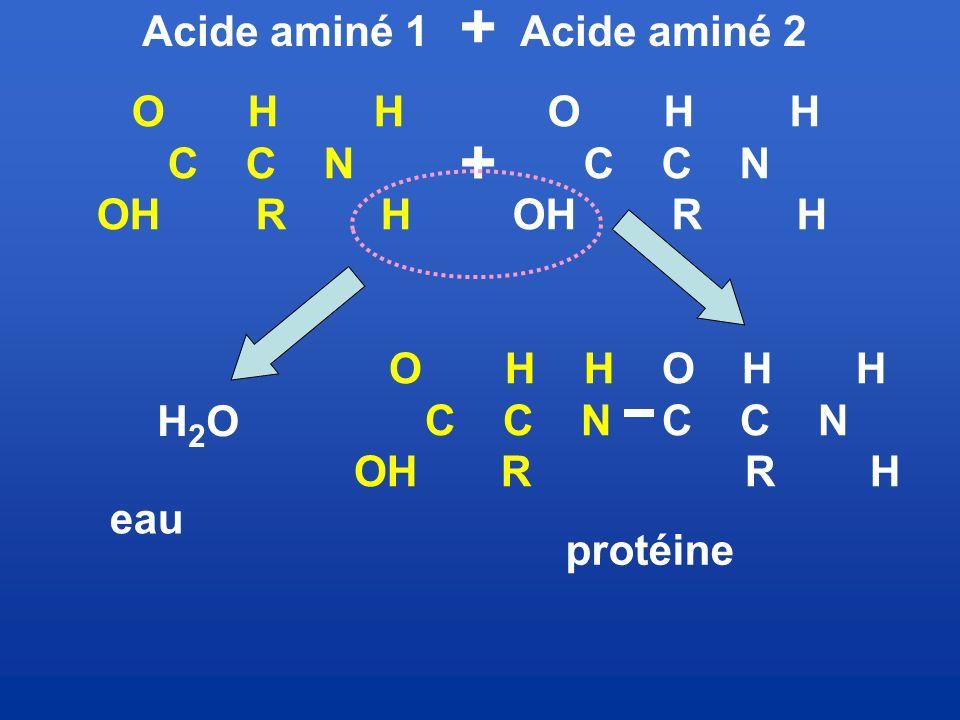 + O H H C C N OH R H H2O O H H OH R O H H R H Acide aminé 1