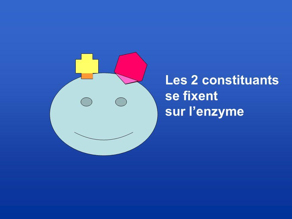Les 2 constituants se fixent sur l'enzyme