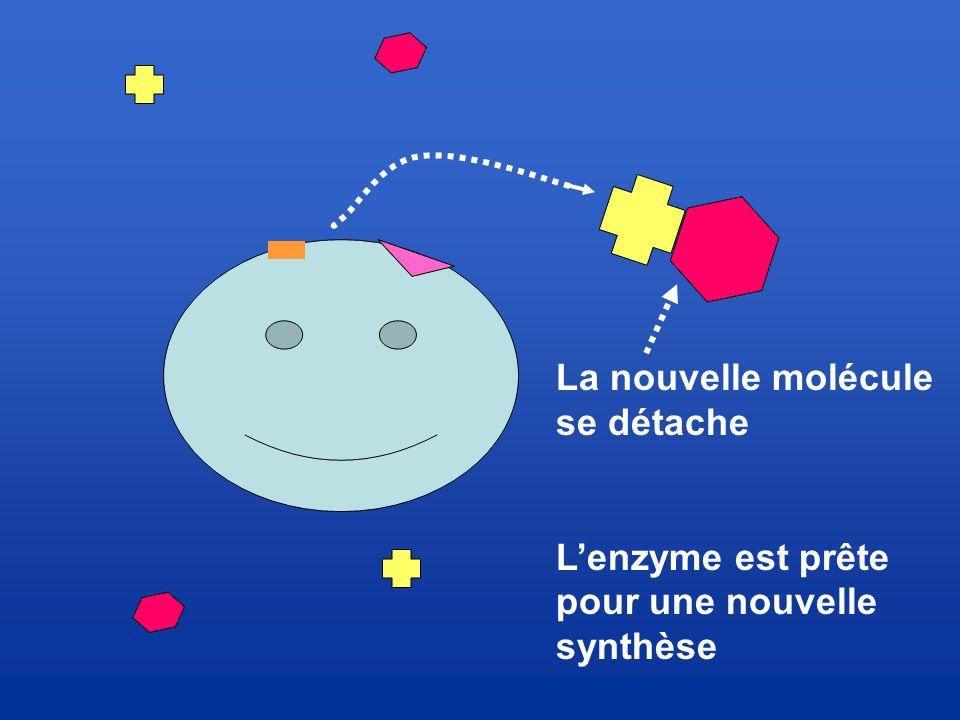 La nouvelle molécule se détache L'enzyme est prête pour une nouvelle synthèse