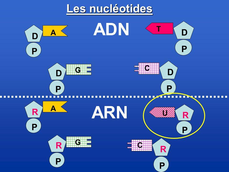 ADN ARN Les nucléotides D D P P D D P P R R P P R R P P T A C G A U G