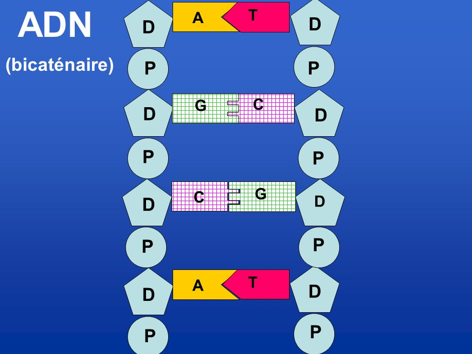 ADN A T D D (bicaténaire) P P G D C D P P G C D D P P T A D D P P