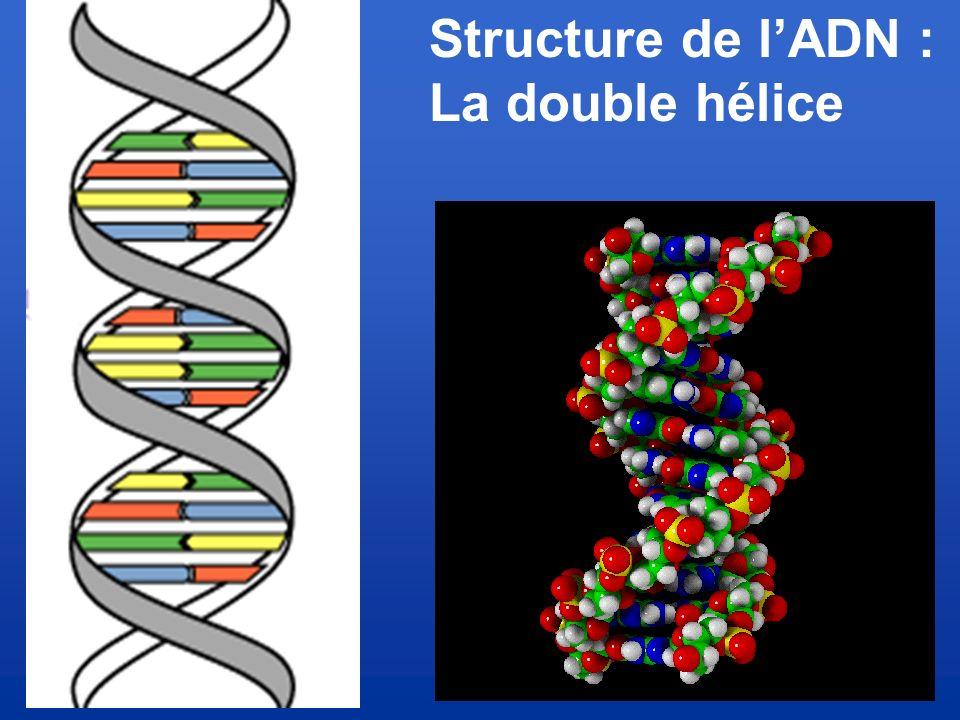 Structure de l'ADN : La double hélice