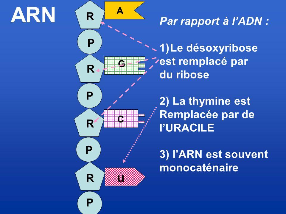 ARN n R Par rapport à l'ADN : Le désoxyribose est remplacé par P