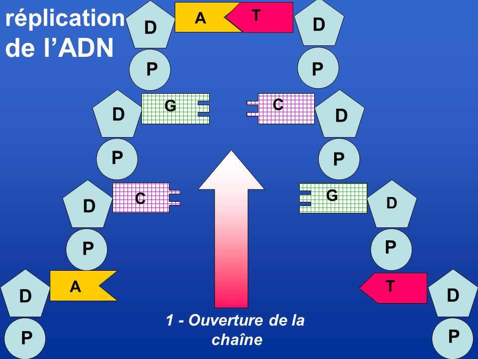 de l'ADN réplication D D P P D P D P D P P D P D P T A G C G C D A T