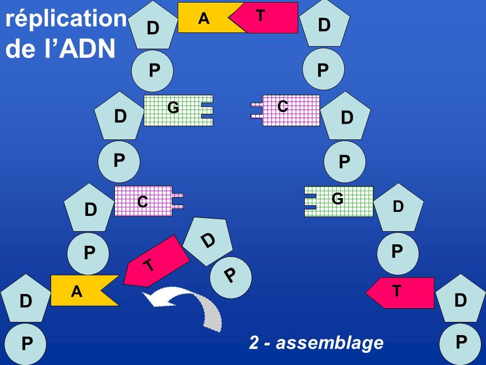 de l'ADN réplication D P D P D P D P D P P D P D P D P 2 - assemblage