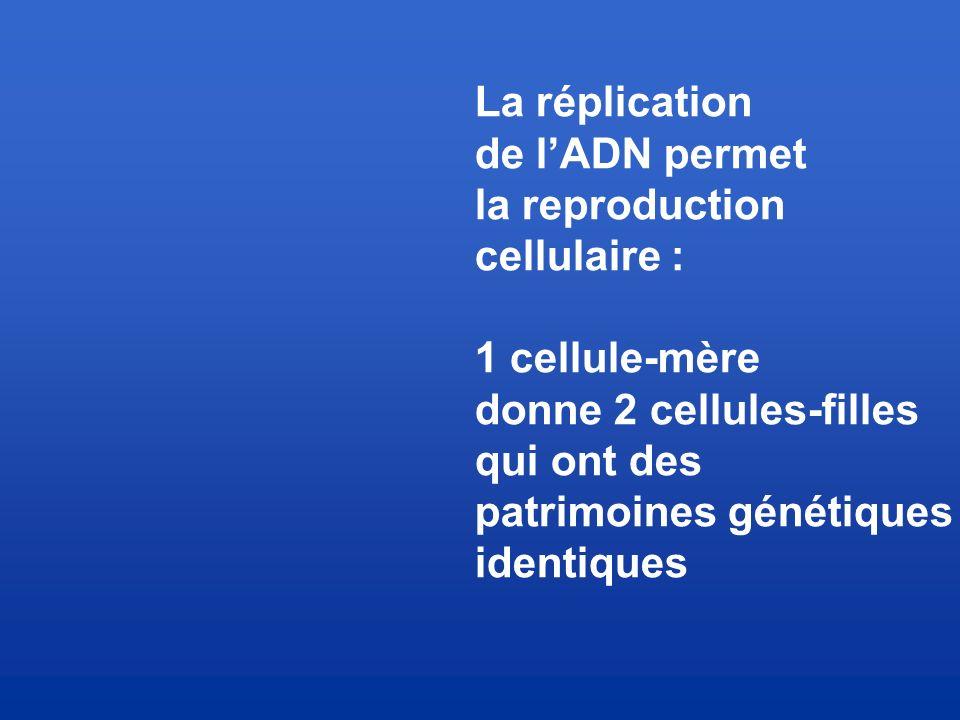La réplication de l'ADN permet. la reproduction. cellulaire : 1 cellule-mère. donne 2 cellules-filles.