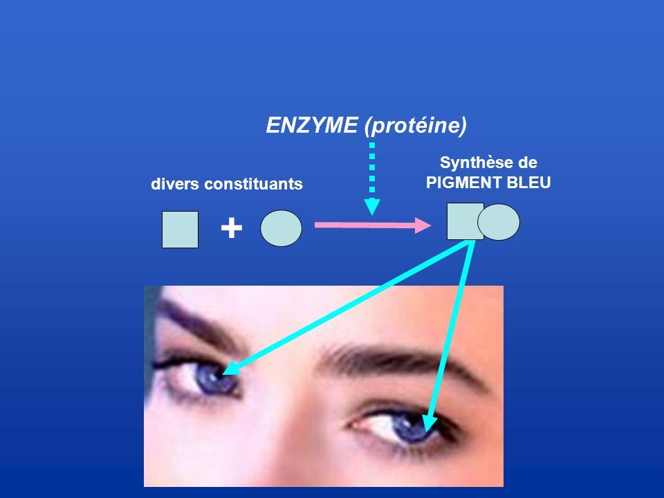 divers constituants Synthèse de PIGMENT BLEU + ENZYME (protéine)