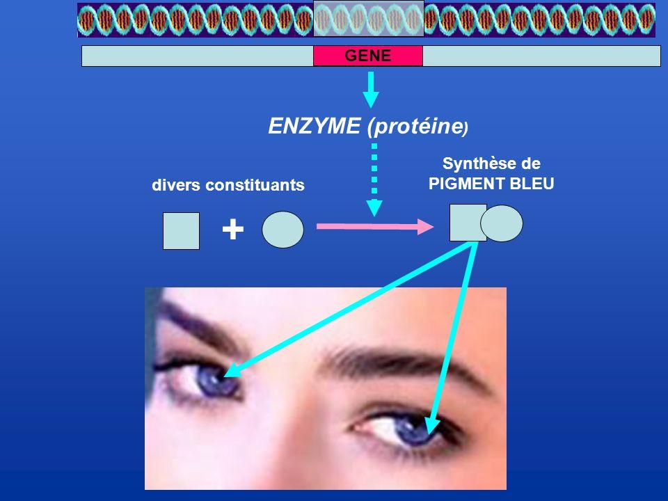 GENE divers constituants Synthèse de PIGMENT BLEU + ENZYME (protéine)