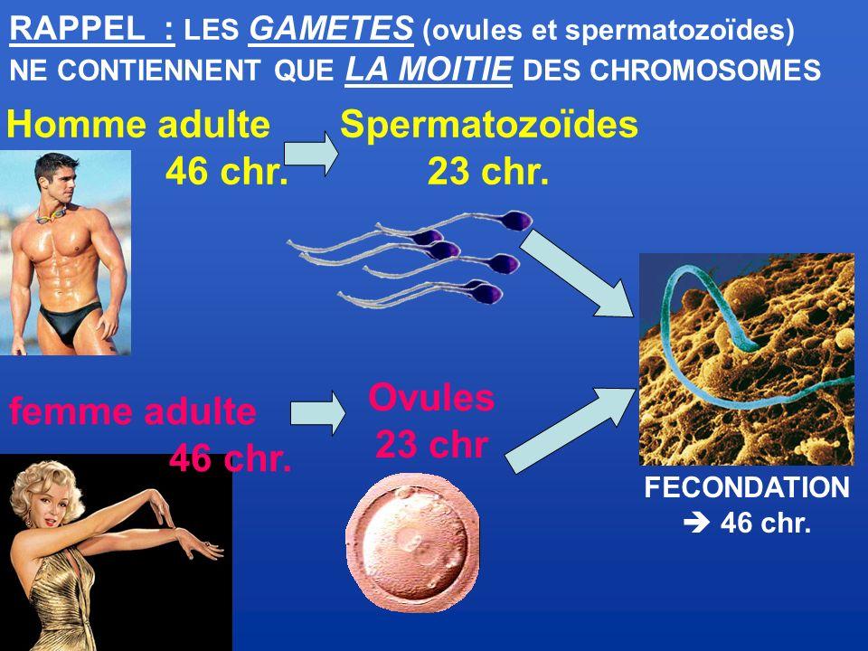 Spermatozoïdes 23 chr. Ovules 23 chr