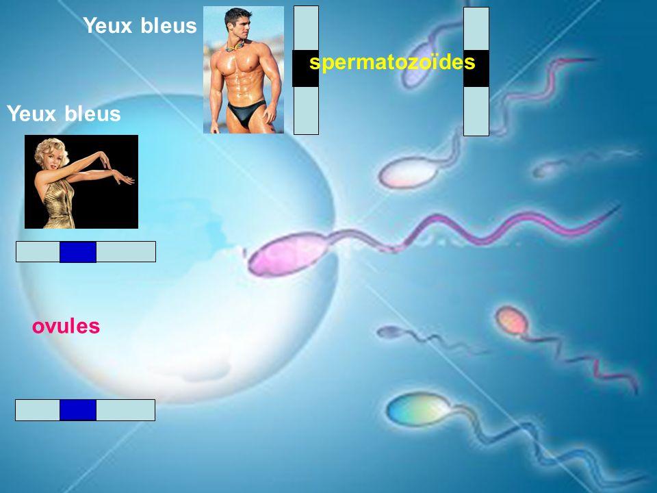 Yeux bleus spermatozoïdes Yeux bleus ovules