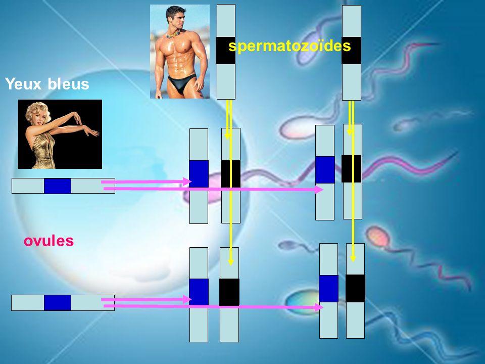 spermatozoïdes Yeux bleus ovules