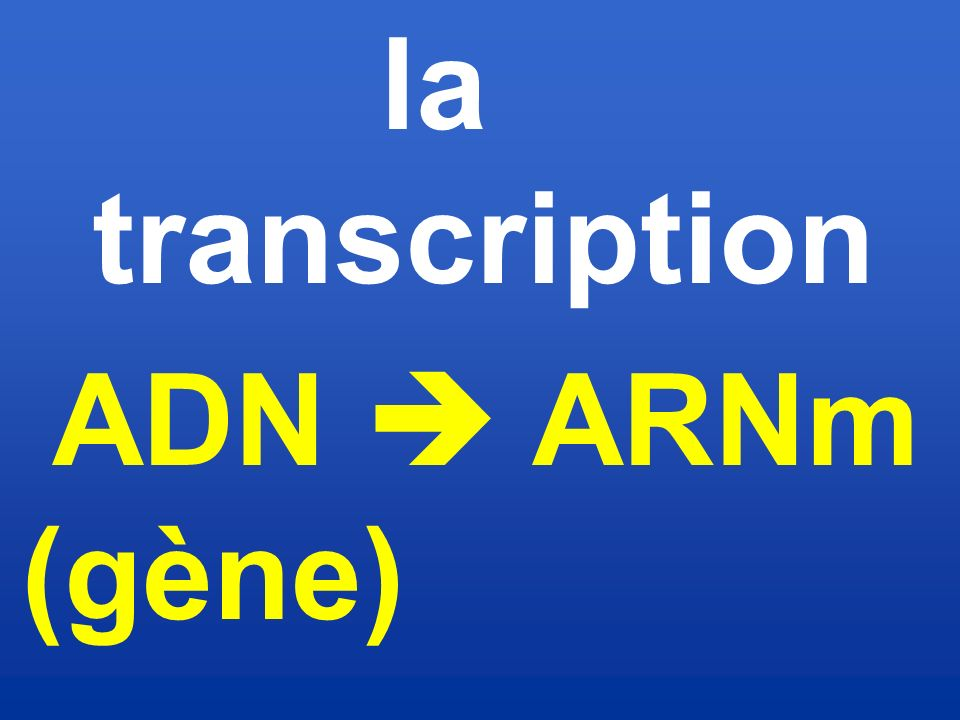 la transcription ADN  ARNm (gène)