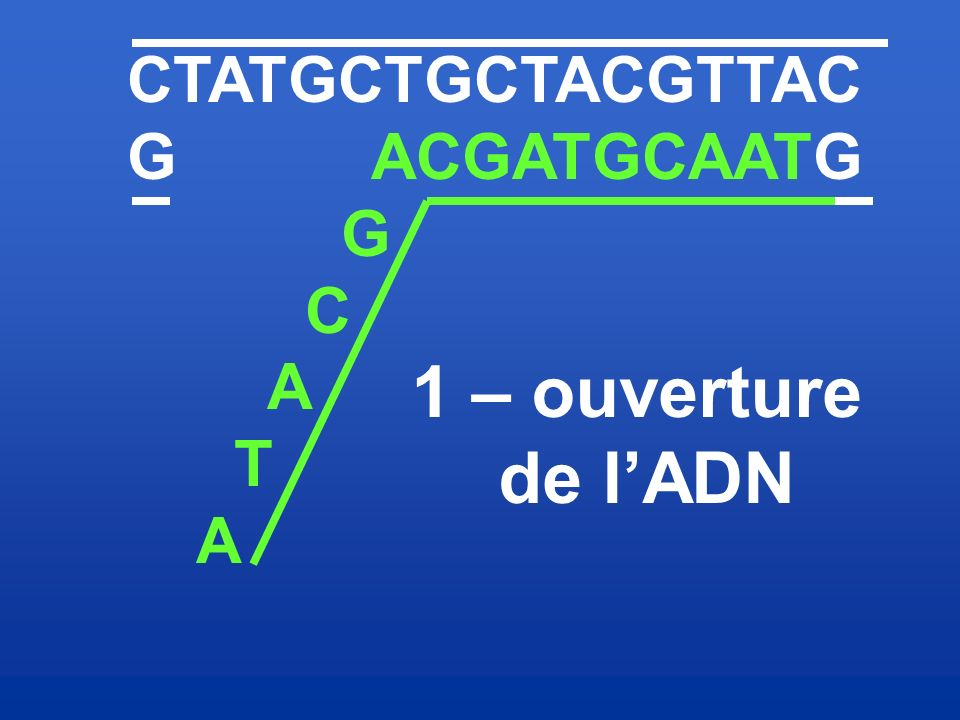 CTATGCTGCTACGTTAC G ACGATGCAATG G C A T 1 – ouverture de l'ADN