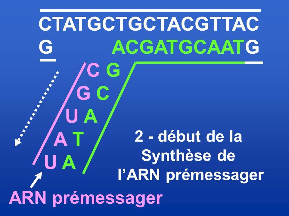 CTATGCTGCTACGTTAC G ACGATGCAATG C G G C U A A T ARN prémessager