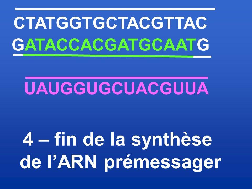 4 – fin de la synthèse de l'ARN prémessager