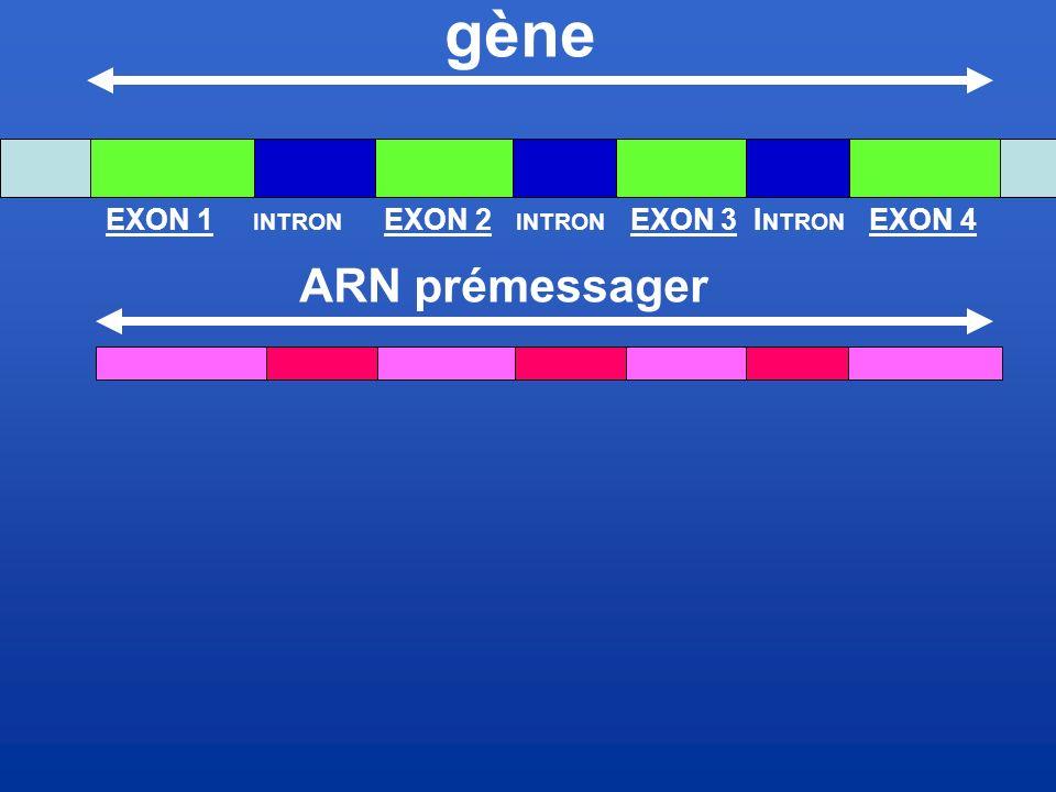 gène EXON 1 INTRON EXON 2 INTRON EXON 3 INTRON EXON 4 ARN prémessager