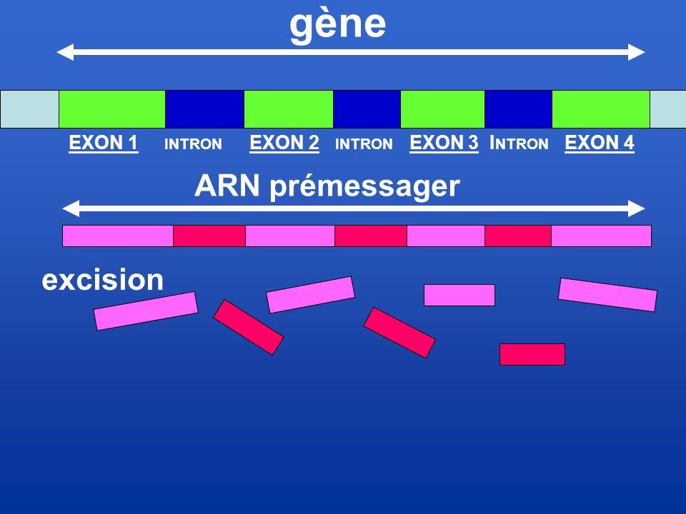 gène ARN prémessager excision