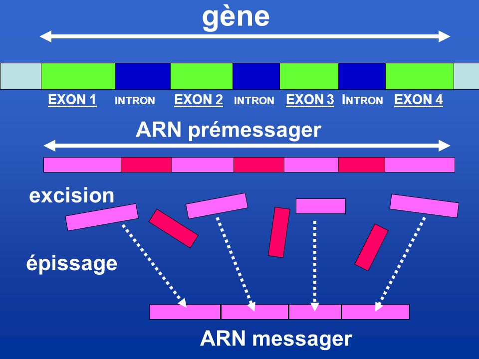gène ARN prémessager excision épissage ARN messager