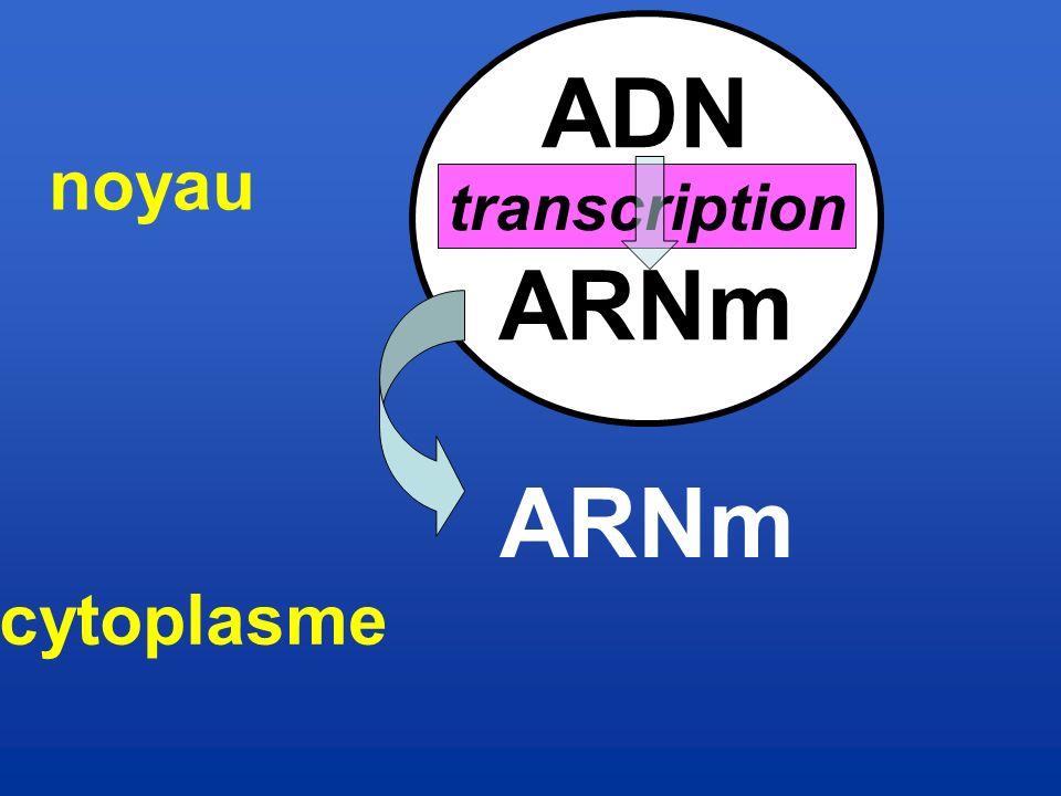 ADN ARNm noyau transcription ARNm cytoplasme