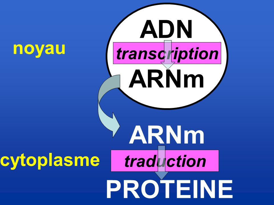 ADN ARNm PROTEINE transcription traduction noyau cytoplasme