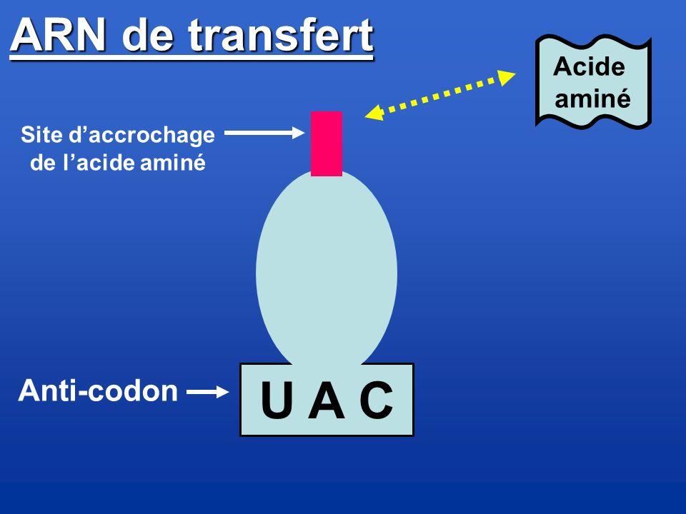 U A C ARN de transfert Anti-codon Acide aminé Site d'accrochage