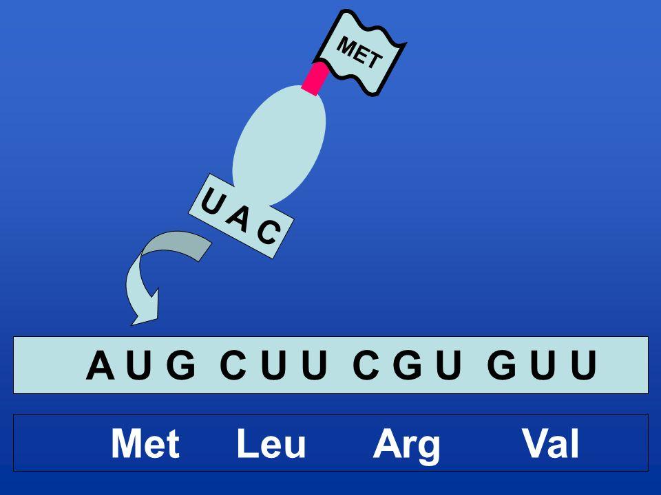 U A C MET A U G C U U C G U G U U Met Leu Arg Val