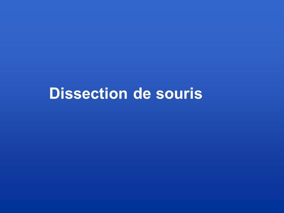 Dissection de souris