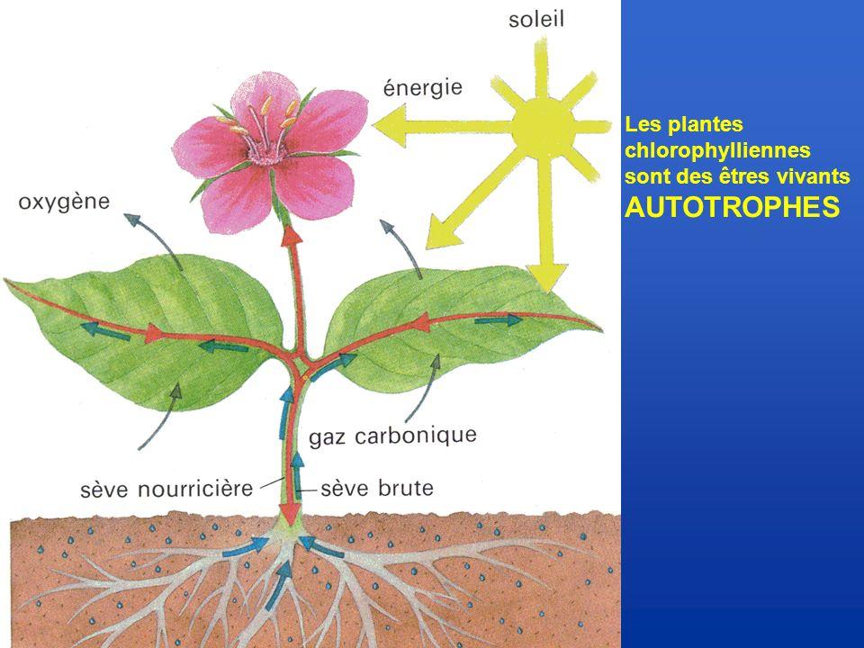 Les plantes chlorophylliennes sont des êtres vivants AUTOTROPHES