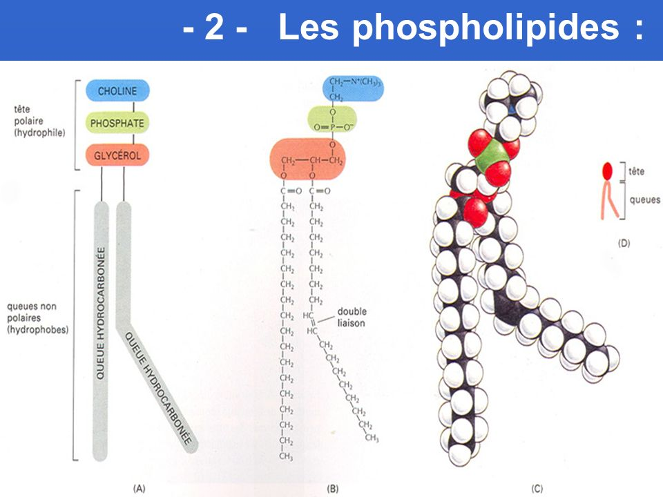- 2 - Les phospholipides :