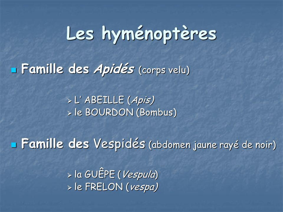 Les hyménoptères Famille des Apidés (corps velu)