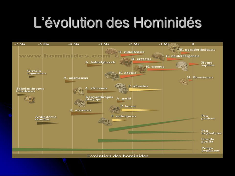 L'évolution des Hominidés