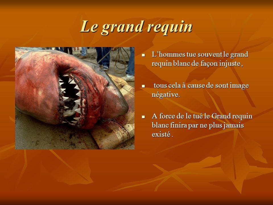 Le grand requin L'hommes tue souvent le grand requin blanc de façon injuste , tous cela à cause de sont image négative.
